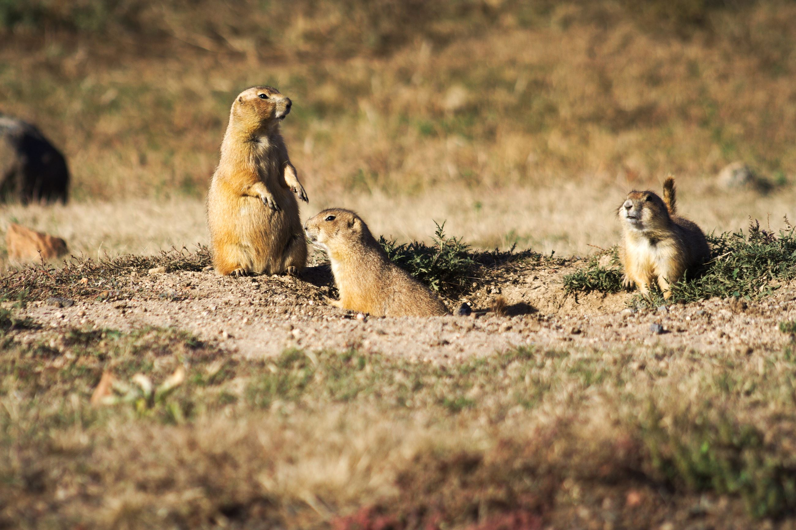 Prairie Dog Colony